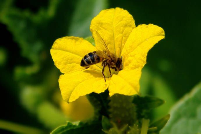Огурец «Нежинский» относится к категории пчелоопыляемых