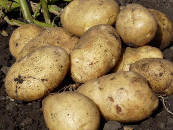 Картофель сорта «Агрия» обладает высокой товарностью