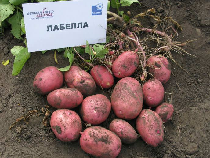Картофель «Лабелла» отлично адаптируется к неблагоприятным условиям культивирования