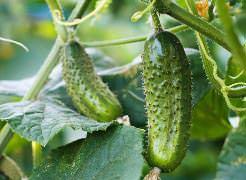 Выращивание огурцов на балконе: выбор сорта, подготовка почвы и семян, выращивание рассады, правила ухода, способы защиты от вредителей