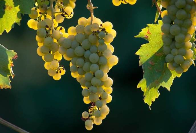 Сорт винограда «Фурминт» – венгерский сорт, из которого производятся качественные десертные и столовые вина