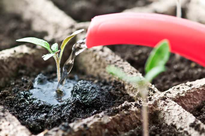 Поливать семена следует только водой комнатной температуры