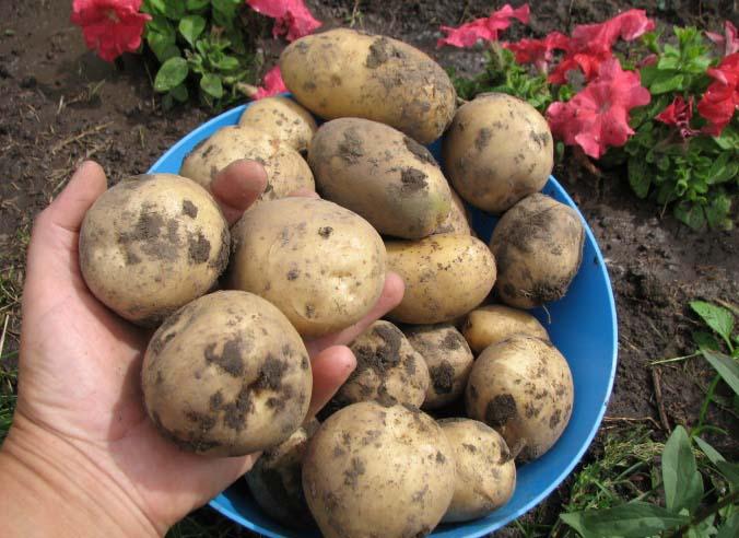 Картофель «Елизавета» является одним из старейших сортов российской селекции