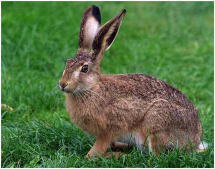 Вот такой милый заяц может нанести дачному саду страшнейший вред!