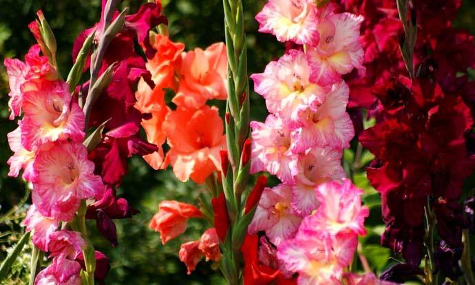 В сравнении с лилиями, цветки гладиолусов всегда стремятся вверх