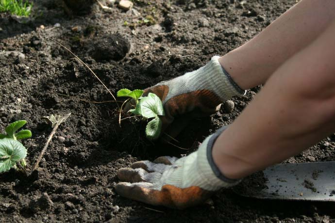 Почва для выращивания клубники
