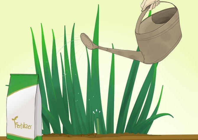 За вегетативный сезон нужно подкормить гладиолусы 3-4 раза минеральным удобрением