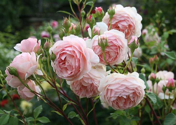 Активно подкармливать английскую розу начинают со второго года после посадки