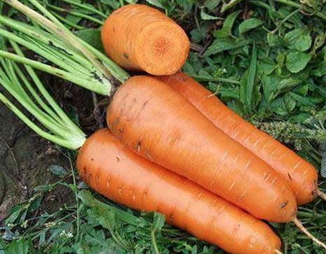 Морковь Канада – среднепоздний высокоурожайный сорт