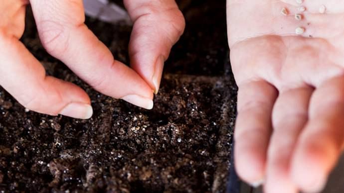 Посев семян сорта Черный принц следует проводить в середине марта
