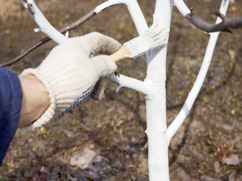 Для защиты сорта «Успех» от паразитов очень важно осуществлять своевременную побелку коры на штамбах