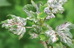Мучнистая роса для смородины является одним из главных заболеваний