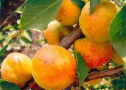 Абрикос «Сардоникс» относится к скороплодным сортам