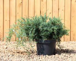 Можжевельник виргинский является вечнозеленым растением