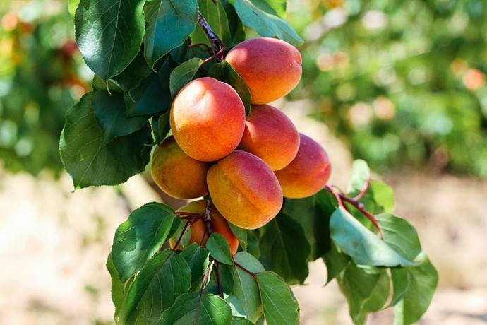 Абрикосовые деревья «Нью Джерси» характеризуются такой особенностью, как осыпание плодов до сбора урожая