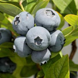 Голубика Бонус пользуется спросом у огородников