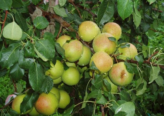 Груша «Отрадненская» формирует деревья штамбового типа высотой ниже среднего