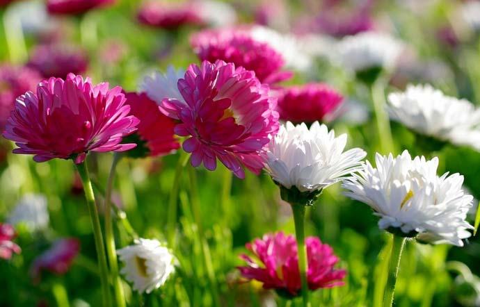 Маргаритка порадует садоводов обильным и пышным цветением дважды в год