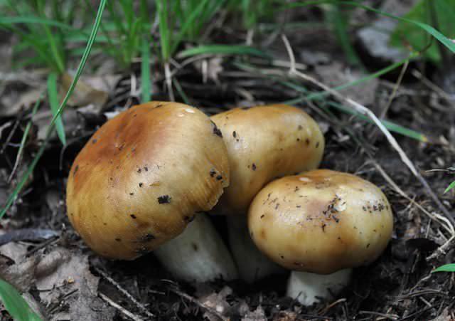 Валуи могут создавать микоризу не только с хвойниками, но и с любыми лиственными деревьями, поэтому плодоносят достаточно обильно и стабильно