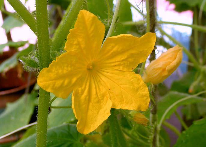 Огурец разновидности «Хрустящая грядка» формирует индетерминантное, среднерослое, средневетвистое растение с преимущественно женским типом цветения