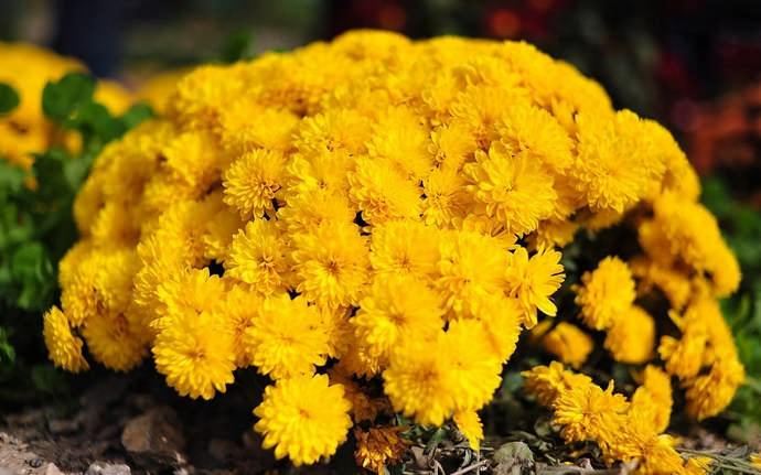 Низкорослые разновидности хризантем отлично выполняют роль бордюров в садах