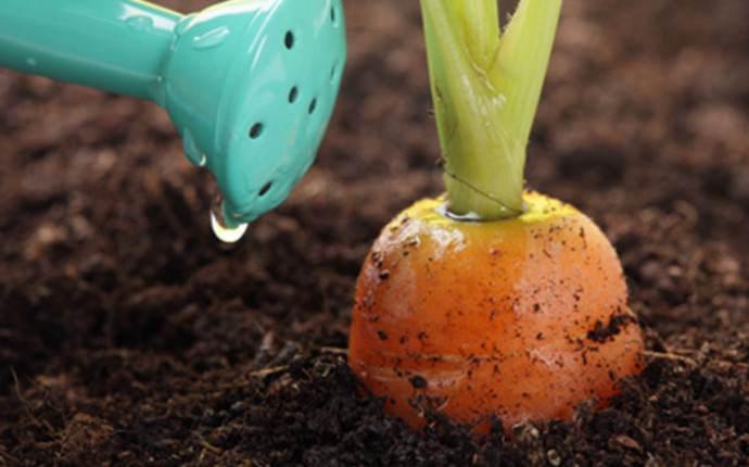 Суммарное водопотребление моркови Канада F1 зависит от стадии вегетации, а также от типа почвы на участке