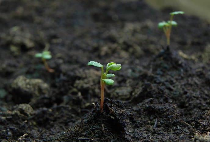 Всходы земляники появляются неравномерно в течение 10-30 дней