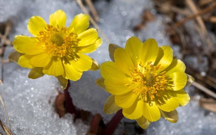 Адонис прекрасно выдерживает длительные морозы зимой и возвратные похолодания в весеннее время