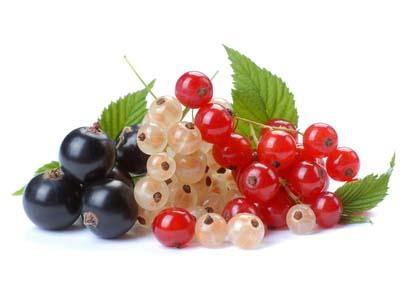 Смородина относится к роду растений из семейства Крыжовниковые