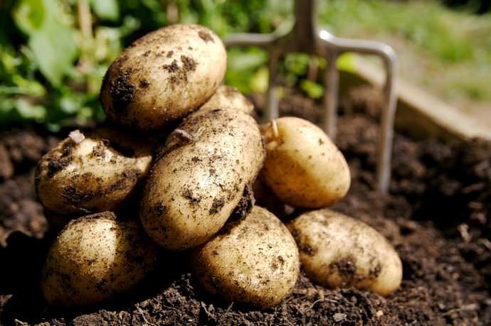 Клубни картофеля Чародей сохраняются даже при сильной засухе