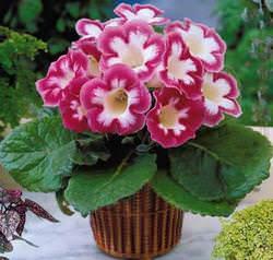 Глоксиния — это одно из самых красивых и ярких комнатных растений