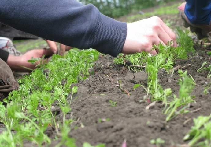 Чтобы получить хороший урожай сладкой, красивой и полезной моркови, следует осуществлять правильный уход