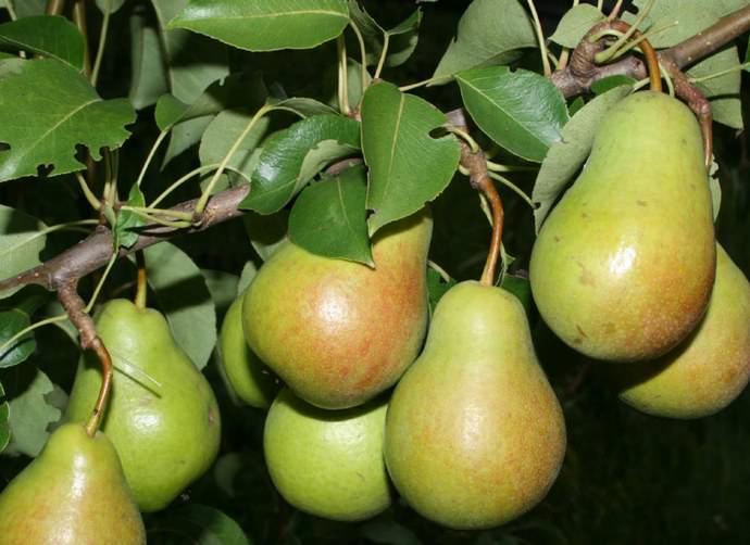 Сорт «Чижовская» характеризуется высокой урожайностью, а его плоды поспевают в конце лета