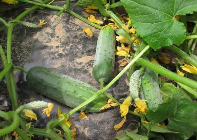 Наилучшими почвами для выращивания огурцов считаются суглинистые и супесчаные почвы