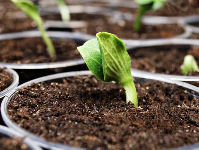 Выращивать мускатную тыкву можно рассадным способом