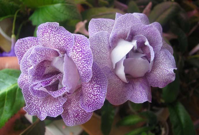 Глоксиния цвететс марта по октябрь, после чего у нее наступает период покоя