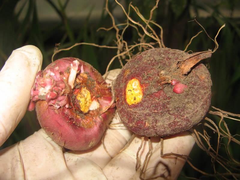 Детки гладиолусов выращивание, что с ними делать, как сажать, сохранить