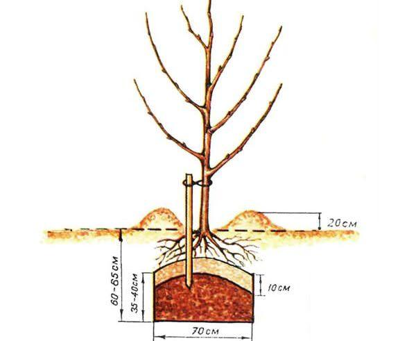 Абрикосовые саженцы сорта «Десертный» предпочтительнее высаживать в ранний весенний период