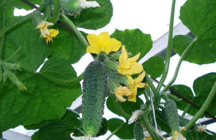 Огурец «Изумрудные сережки F1» образует среднерослые растения женского типа цветения