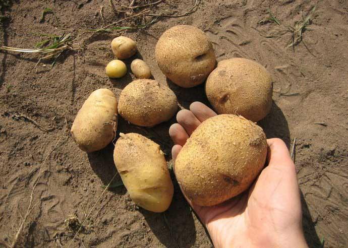 Картофель «Велина» показывает высокий уровень урожайности в большинстве регионов возделывания