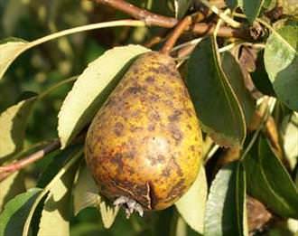 Далеко не всегда выращивание груши проходит безоблачно