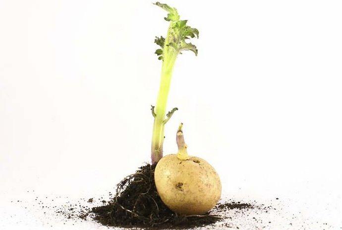Зараженный грунт может быть перенесен с любыми корнеплодами