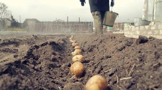 Для выращивания ультрараннего картофеля необходимо подбирать участки с хорошо окультуренным грунтом, обладающим оптимальными показателями влажности