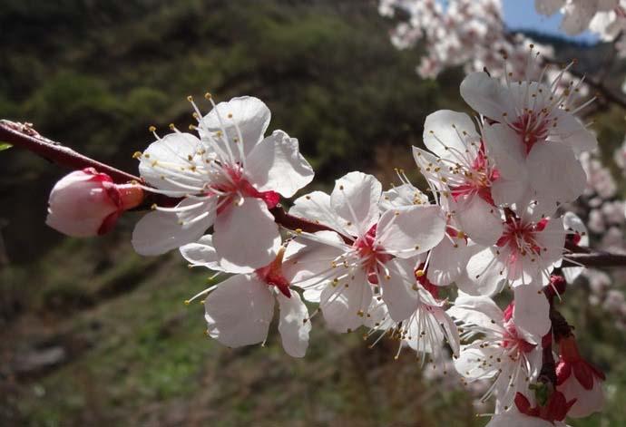 Период полноценного плодоношения абрикоса «Монастырский» наступает на третий или четвертый год после проведения прививки