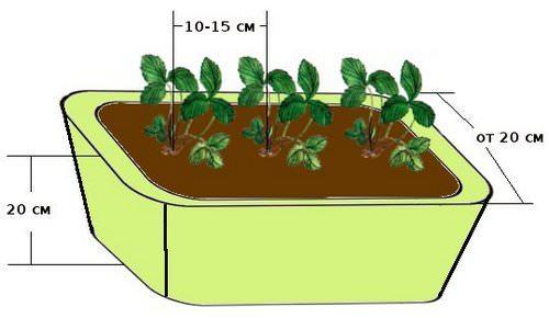 В посадочные емкости клубничную рассаду следует высаживать с расстоянием не менее 20−25 см друг от друга