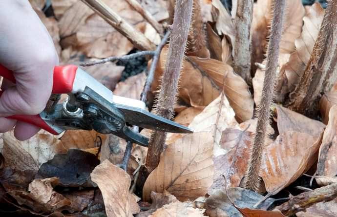 Все побеги малины сорта «Абрикосовая» перед наступлением холодов нужно срезать