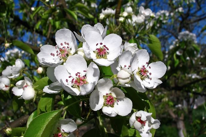 Период активного плодоношение сорта Памяти Яковлева наступает примерно через три года после посадки растения на постоянное место