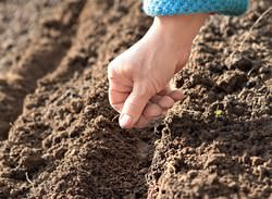 Правила и сроки посадки моркови и свёклы зависят от региона культивирования