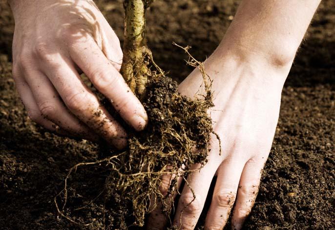 Чтобы посадить кустарник весной, почву следует подготовить осенью