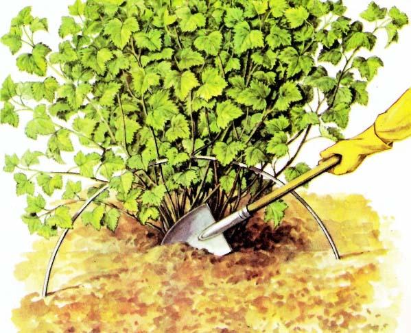 Общие правила выращивания смородины предполагают регулярное рыхление грунта вокруг растения